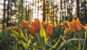 2016.04.01-Unsplash-Tulips-Ales-Krivec-300x174.jpg
